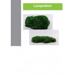 Boite de mousse lycopodium 1 kilo