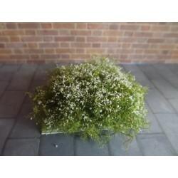 Buisson fleuri blanc