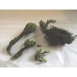 Plante naturelle stabilisée pour décor végétation, N°5