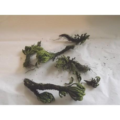 Plante naturelle stabilisée pour décor végétation, N°11